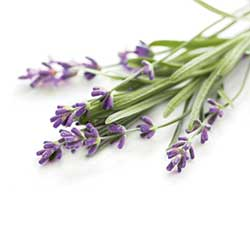 Huile essentielle de lavande - Aromathérapie